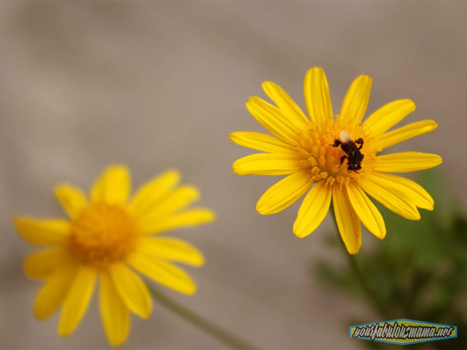 lebah-bunga-kuning