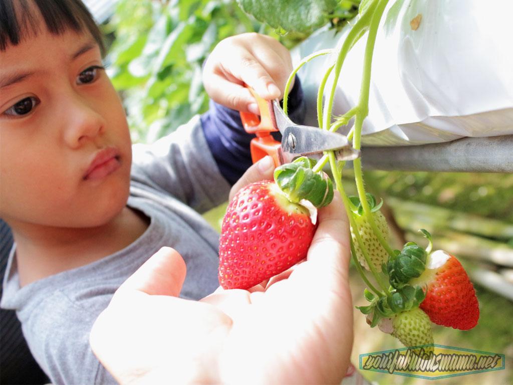 pick-strawberi-dhani