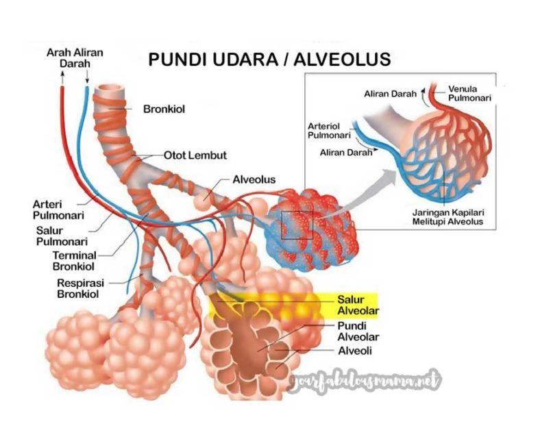 gambarajah Alveoli Pundi Udara