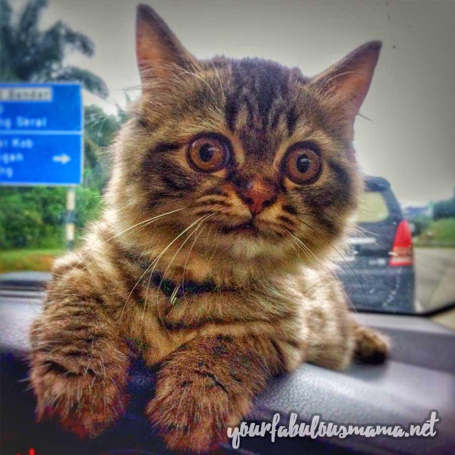 Buang Kutu Kucing
